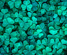 Background With Green Clover Leaves For Saint Patrick's Day. Shamrock As A Symbol Of Fortune.