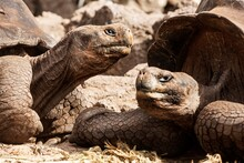 Ecuador, Galapagos Islands, Close-up Of Two Giant Tortoises
