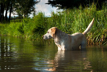 Yellow Lab Standing In A Pond.