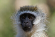 A Close-up Portrait Of The Face Of A Vervet Monkey (Chlorocebus Pygerythrus) . Large Numbers Of Animals Migrate To The Masai Mara National Wildlife Refuge In Kenya, Africa. 2016.