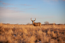 Trophy Deer At Golden Hour