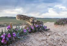 Rattlesnake In Wild Flowers