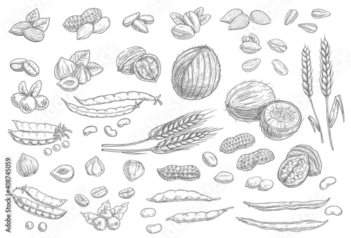 Fototapeta Nuts, cereal grains sketch icons cashew and almonds, peanuts and pistachio seeds, vector