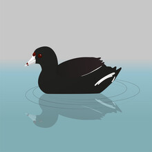 An American Coot Or Mud Hen Swimming In The Water