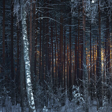 The Wall Of Pine, Spruce And Birch Trees In A Coniferous Forest At Sunset. Golden Evening Sunlight Glowing Through The Tree Trunks. Dark Forest Fairytale. Winter Wonderland. Finland
