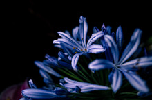 Close Up Of A Agapanthus Flower