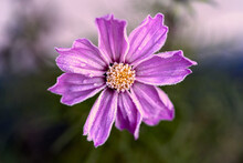 Flower Cosmos Bipinnatus With Soft Rime Early In The Morning.