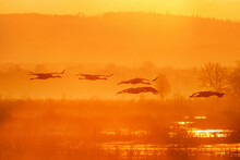 Flock Of Cranes In Morning Light Over A Lake