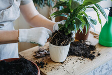 Spring Houseplant Care, Waking Up Indoor Plants For Spring. Woman Is Transplanting Plant Into New Pot At Home. Gardener Transplant Plant Spathiphyllum
