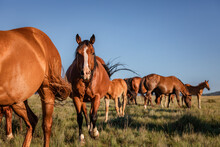 Ranch Horse Herd In Montana In Front Of The Pryor Mountains Mares Foals Geldings And Stallion