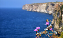 Closeup Of Rock Thistles Growing On Cliffs Surrounded By The Sea In Malta