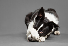 Cute Border Collie Dog Covering Her Nose With Her Paw Trick In The Studio Against A Grey Background