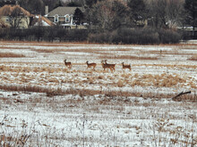 Deer Run Through Snow Covered Field: Several White Tailed Deer Running Through A Snow Covered Prairie In The Midst Of A Homestead On A Cold Winter Day