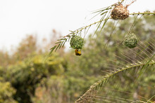 Ploceidae Weaver Bird Create A Nest