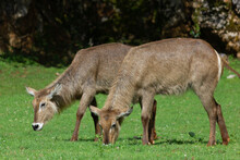Animal Life In The Cabarceno Park, Elephants, Bison, Primates (Cantabria)
