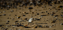 Vendée, France; January 25, 2021: A Sanderling (Calidris Alba) Looks For Moluscs To Eat On A Beach In Bretignolles Sur Mer.