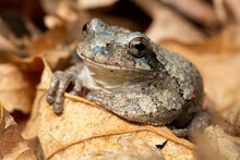 Gray Tree Frog On The Forest Floor. They Can Be Highly Variable In Color, Ranging From Gray To Green To Brown.