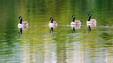 Four Canada Geese On Lake, Reflections In Water