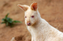Close-up Of An Albino Wallaby