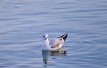 Seagulls Swiming On The Lake