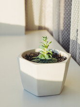 Flower Pot With Echeveria. Green Leaves Of Succulent Plant On Sunny Windowsill. Peaceful Botanical Hobby. Gardening At Home.