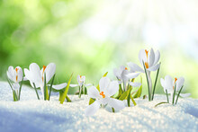Beautiful Crocuses Growing Through Snow Outdoors On Sunny Day. First Spring Flowers