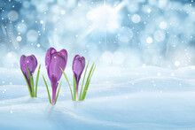 Beautiful Crocuses Growing Through Snow Outdoors On Sunny Day, Space For Text. First Spring Flowers