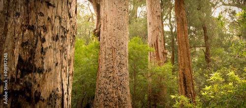 Fotografie, Obraz Giant Tingle Trees, Walpole, Western Australia. Panorama
