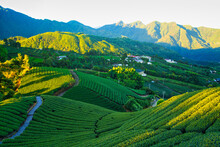 The Early Morning Sunlight Shines On The Green Tea Farms. Tea, Bamboo, Betel Nut Tree, Cattle Egret Migration, Chiayi County Meishan Township Features, Taiwan.