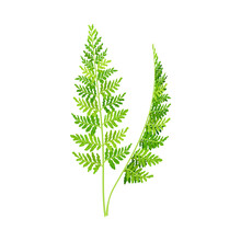 Wild Chervil Feathery Leaf As Medical Herb Vector Illustration