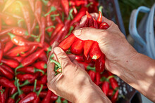 Mature Woman Tears Off Green Stems From Red Hot Chili Peppers Above Plastic Crate In Kitchen Garden On Summer Day Closeup