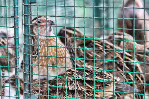 Obraz na plátně Japanese quail in cages in the markets of South-East Asia