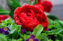 Red Rose With Green Leaves And Rain Drops
