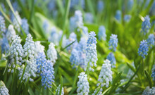 Blue And White Muscari Flowers On A Glade, Close Up