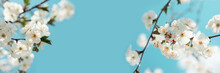 Banner 3:1. White Cherry Blossom Sakura In Spring Time Against Blue Sky. Nature Background. Soft Focus