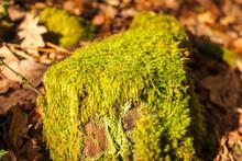 Musgo Sobre Un Tronco Cortado De Roble En Un Bosque En Galicia, España