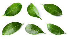 Green Lychee Leaf Isolated On A White Background.