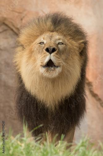 The most beautiful lion of the Masai Mara Wall mural