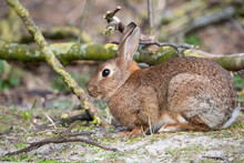 Wild Rabbit Eating New Tree Shoots At Rottumerplaat The Netherlands