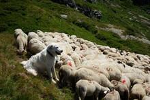 Chien Patou De Protection Avec Un Troupeau De Mouton Dans Les Alpes