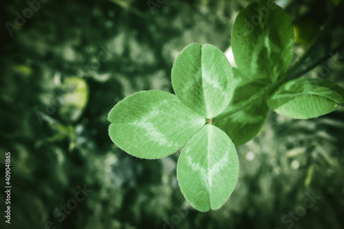 Fototapeta Green clover leaf growing in spring field