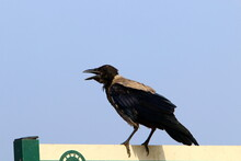 Great Hooded Crow In A City Park On The Mediterranean Sea In Northern Israe