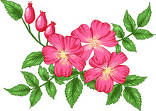 Colorful Vector Illustration Of Dog Rose Flowers Bouquet For Invitation And Greeting Card, T-shirts Design. All Elements Are Isolated On Their Layers.