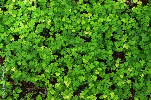 Fotografiet green moss background