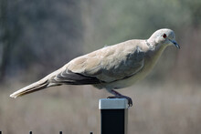 A Eurasian Collared Dove Sitting On A Metal Post, Dry Blurred Grass In The Background