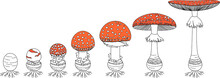 Life Cycle Of Red Fly Agaric Mushroom. Stages Of Fly Agaric (Amanita Muscaria) Fruiting Body Matures Isolated On White Background