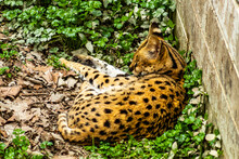 Serval Cat Grabs A Nap. Auckland Zoo, Auckland, New Zealand
