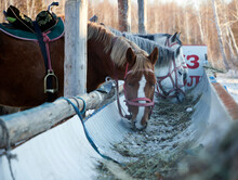 Horses With Saddles Eating Hay From The Trough