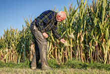 A Hunter Inspects A Field For The Game Damage Caused By Crows. Damage Damage By Birds To Corn Has Increased In Recent Years. The Blooming Plants Are Picked Up By The Birds And Plucked Out.