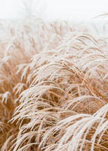 Abstract Natural Background Of Soft Plants Cortaderia Selloana. Frosted Pampas Grass On A Blurry Bokeh, Dry Reeds Boho Style. Patterns On The First Ice. Fluffy Stems Of Tall Grass Under Snow In Winter